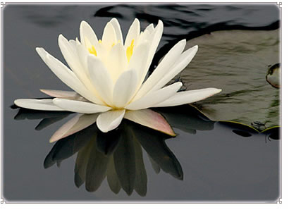 Lotus+Flower+Meaning+In+Japan